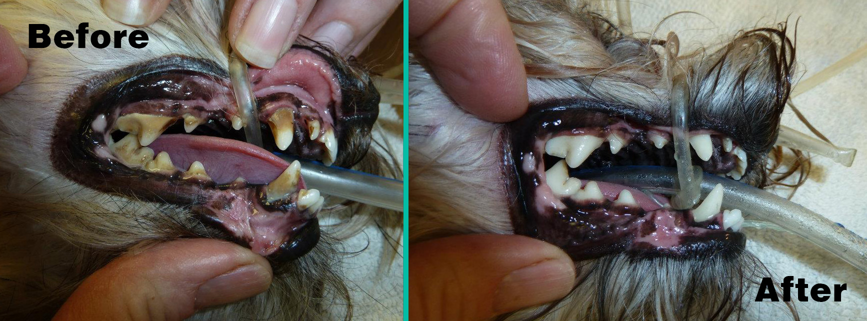 before_and_after_dog_dental_photos